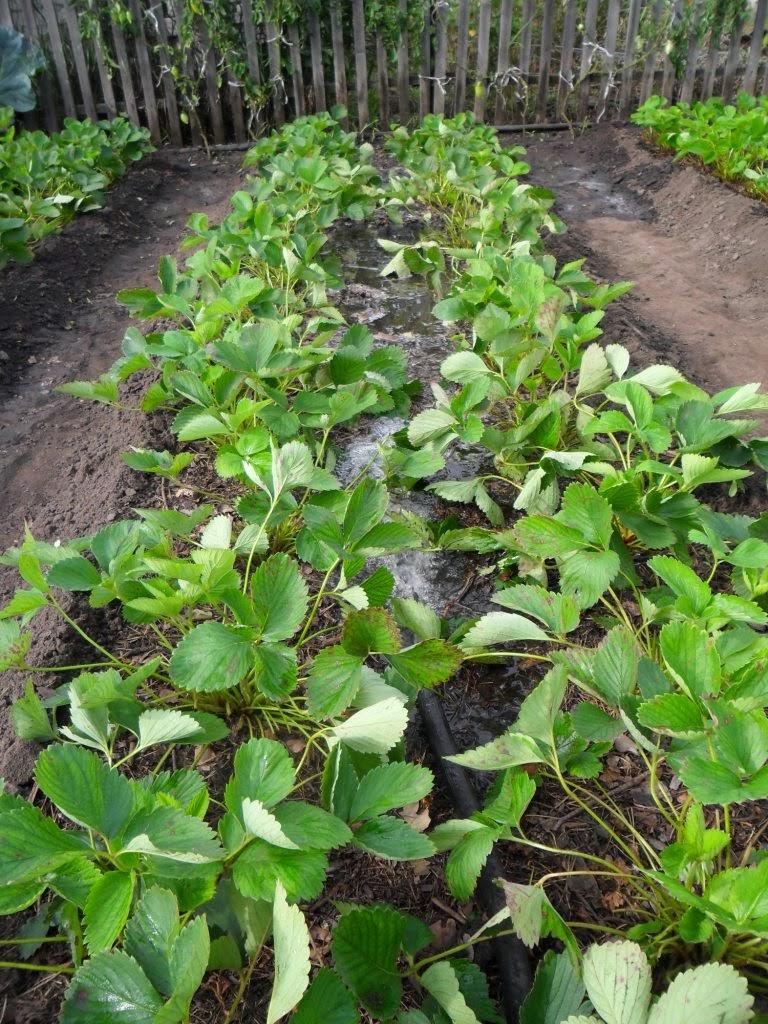 Полив клубники (садовой земляники)
