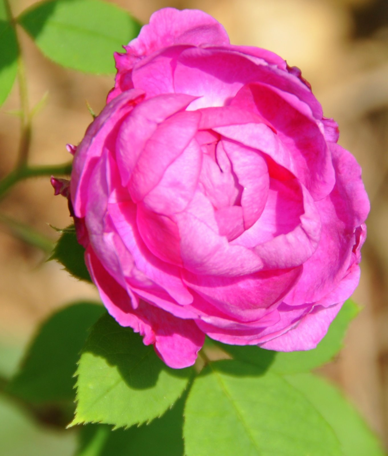 one perfect rose One perfect rose by dorothy parker 1 themes and symbolisms 2 one perfect rose a single flow'r he sent me, since we met.