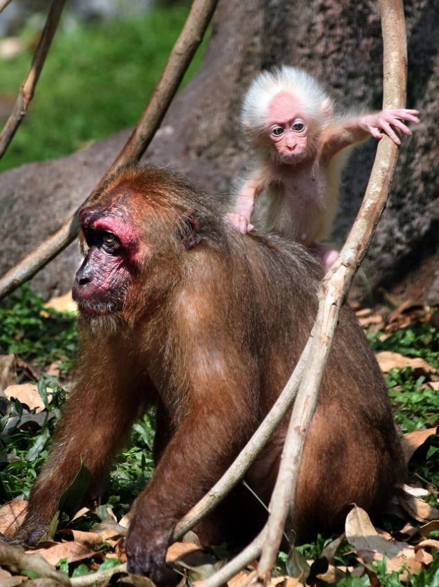 Macaco com aparência de Einstein brinca com sua mãe e parque na Malásia