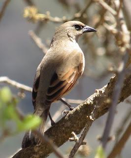 Grayish Baywing