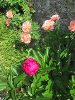 Peonia il fiore lussureggiante della primavera for Peonie periodo