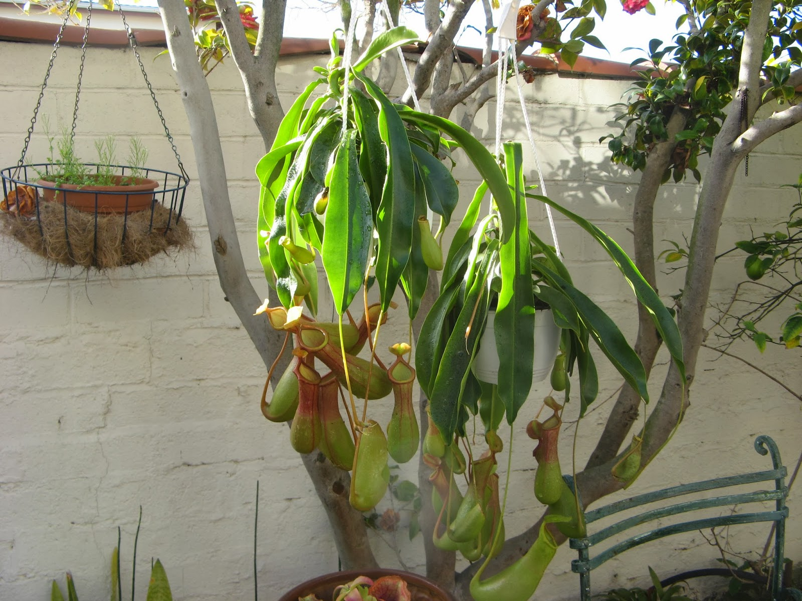 Hanging Pitcher Plant Care Hanging Pitcher Plants at