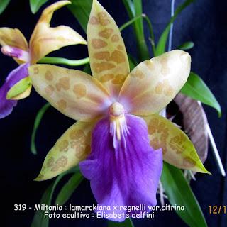 Miltonia (lamarckiana x regnellii var. citrina) do blogdabeteorquideas