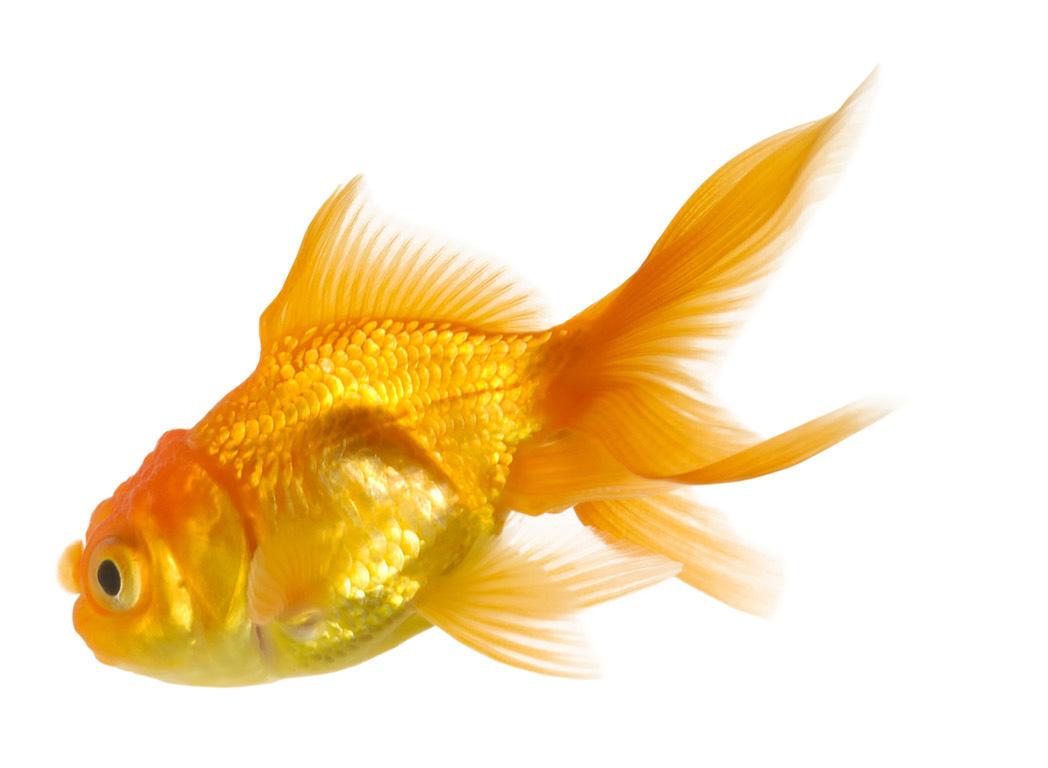 World of divine vastu inc divine vastu consultations and for Fish for gold