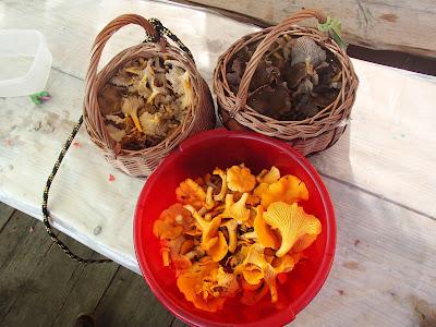 Pieprznik żółtawy Cantharellus tubaeformis var.lutescens, Pieprznik trąbkowy Cantharellus tubaeformis, pieprznik jadalny - kurka Cantharellus cibarius