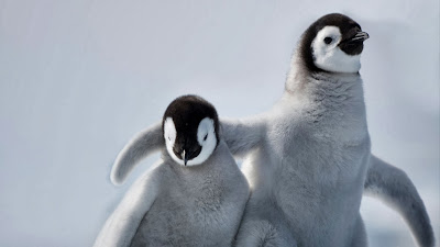 Emperor penguin chicks on Snow Hill Island, Antarctica (© Paul Souders/Corbis) 436