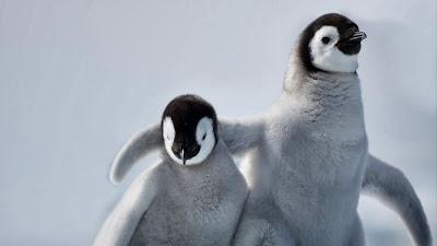 Emperor penguin chicks on Snow Hill Island, Antarctica (© Paul Souders/Corbis) 436