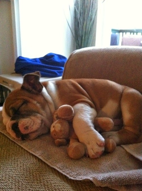 Adorable Puppies Sleeping and Cuddling with Stuffed Animals3