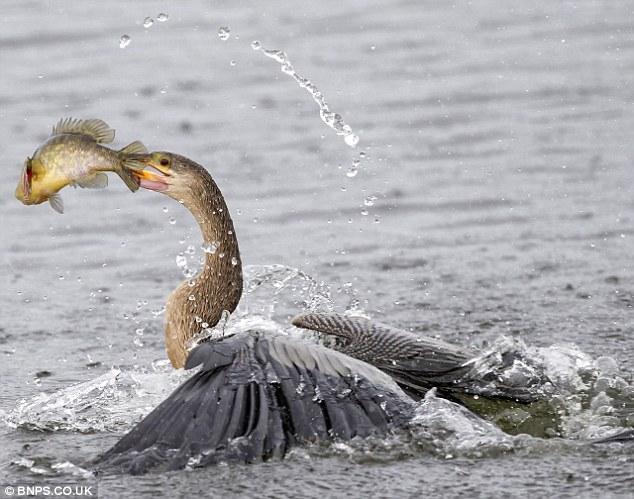 Aksi-aksi burung Anhinga menangkap ikan