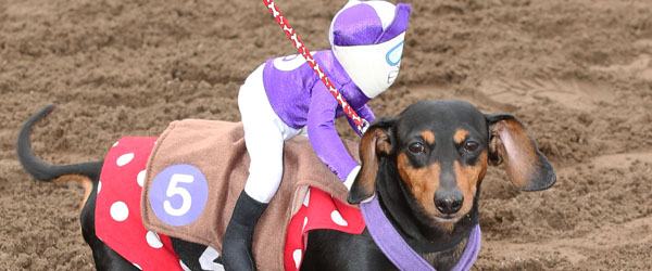 Hair races moreover 71872140 in addition Hair races additionally Wiener Dog Wars 2013 At Canterbury Park likewise Longdogapparel. on weiner dog races canterbury