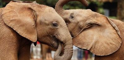 Elefantes têm, mesmo, boa memória?