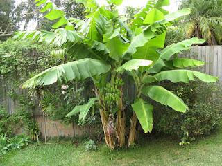 صورة لشجرة الموز