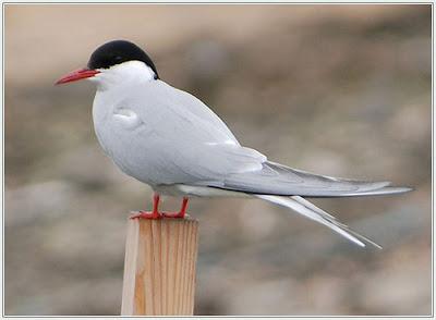 Arctic Tern 2012