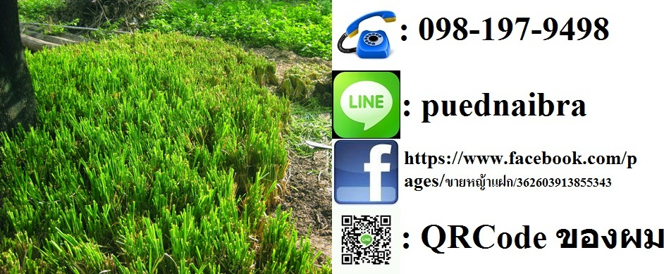 ขายหญ้าแฝก ขายพันธุ์หญ้าแฝก จำนวนมากราคาถูก ต้นละ 30 สตางค์ จัดส่งฟรี โทร 098-197-9498