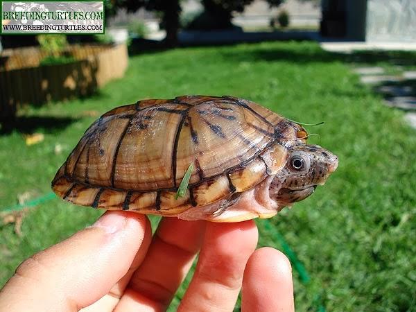 Sternotherus minor - Tortuga apestosa cabezona