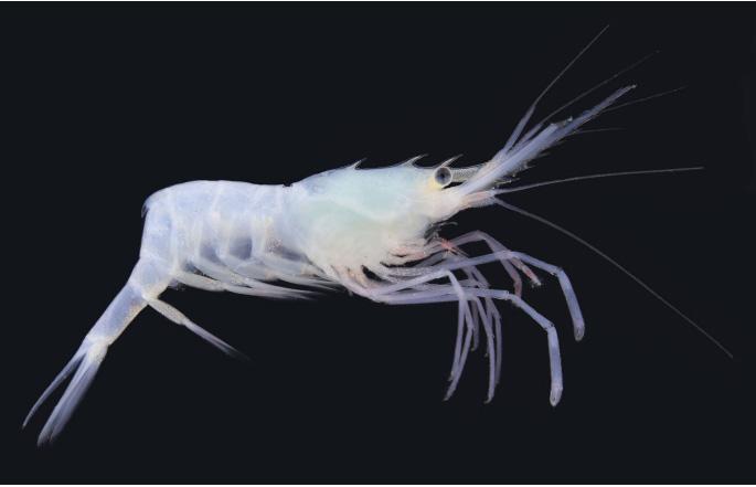 Afbeeldingsresultaat voor shrimp species