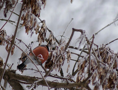Mugurar-Pyrrhula pyrrhula-Eurasian Bullfinch-Gimpel-Camachuelo común