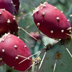 The nopal cactus is a valuable component in the Cosmetics Industry.