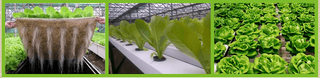 Proses Teknologi Hidroponik dan Aeroponik