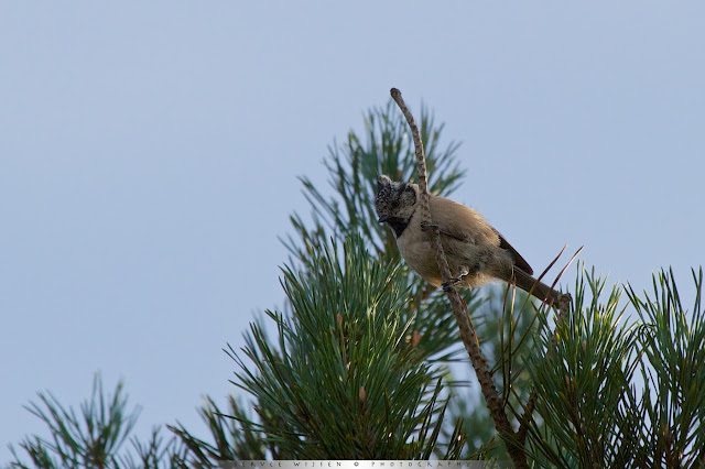 Kuifmezen vindt je vaak in naaldbomen - In Pine trees you can find Crested Tits