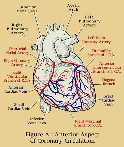 KNOW UR HEART: THE CORONARY CIRCULATION