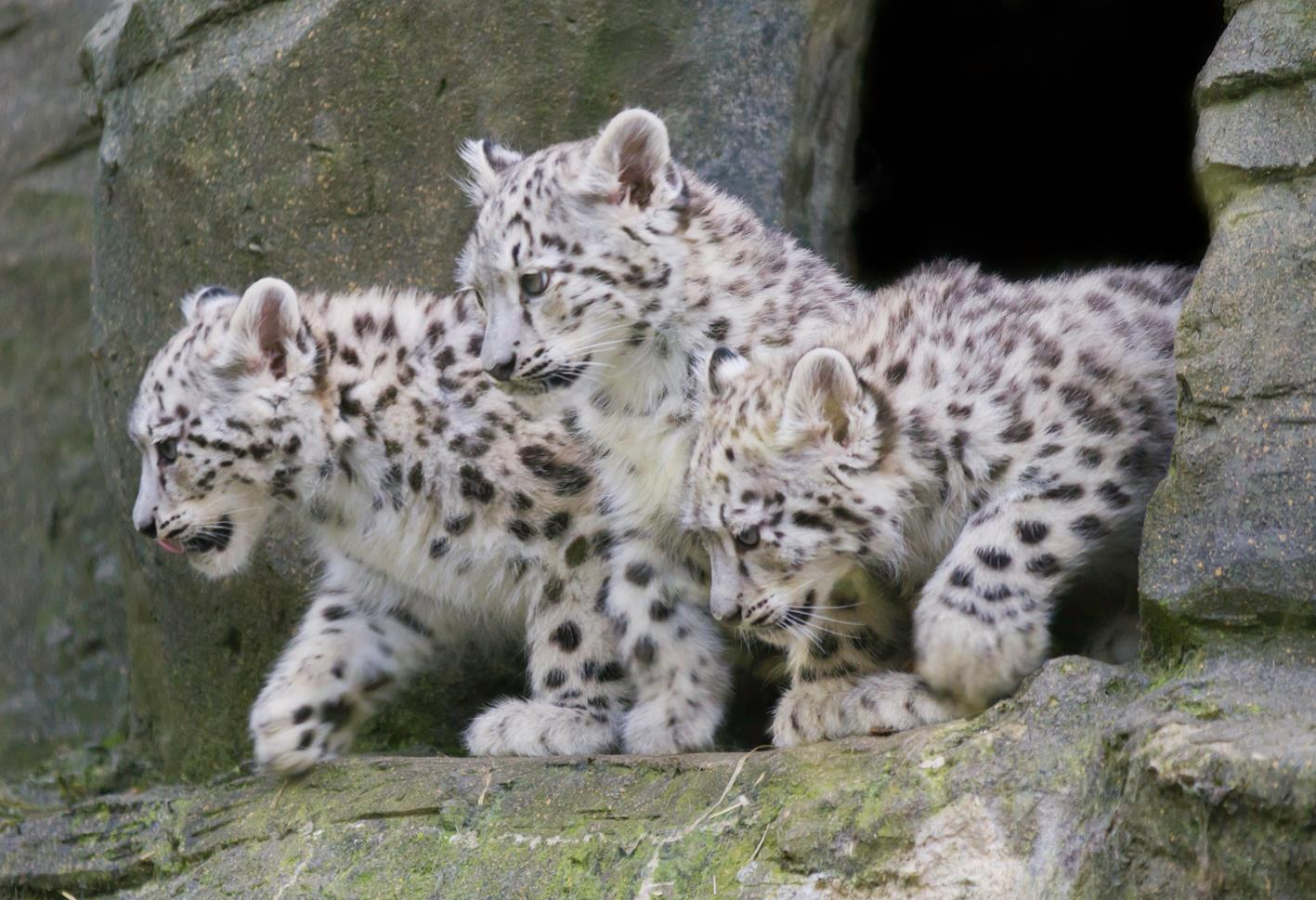 Art of Photography: Snow Leopard Cubs