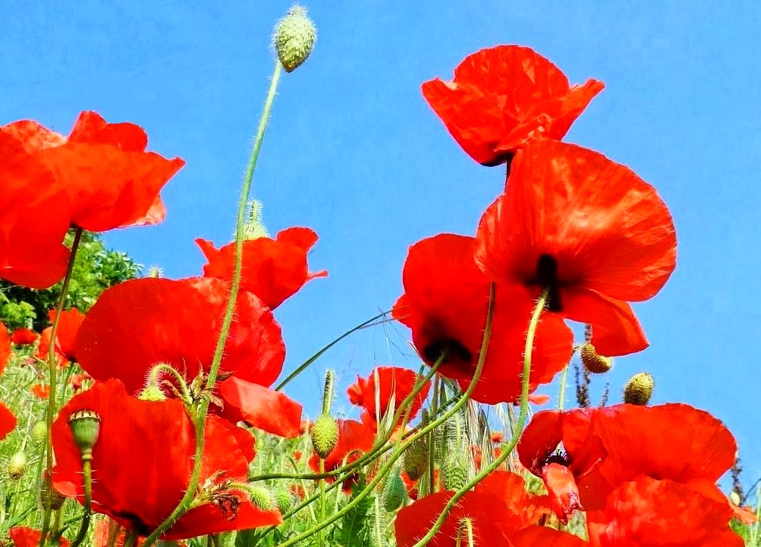 Birth month flowers poppy also known as august birth flower mightylinksfo