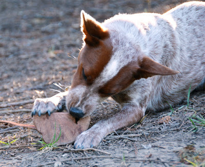 Heeler puppy with chew toy