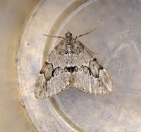 Latest New Macro Moth Species - Juniper Carpet