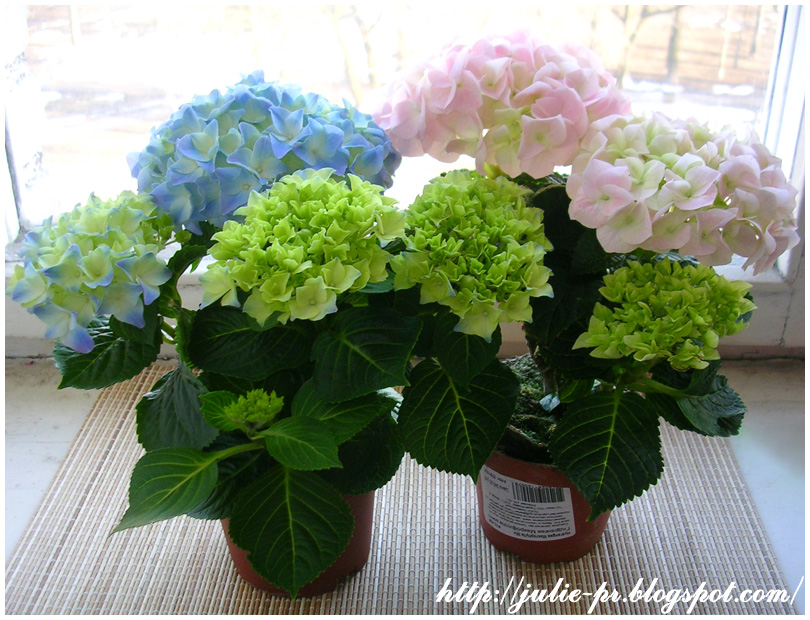 гортензия розовая голубая hydrangea
