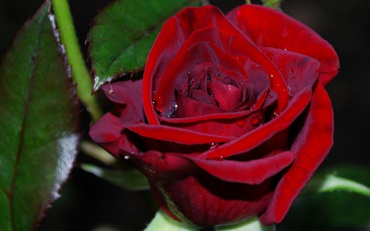Red Rose Widescreen HD Wallpaper 8
