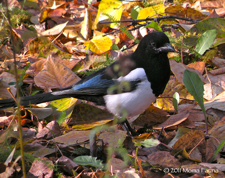 Black-billed Magpie, (Pica hudsonia) in the Autumn leaves.