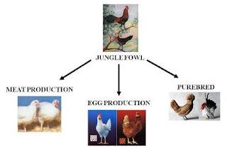 Một mô hình lai gà hướng trứng.