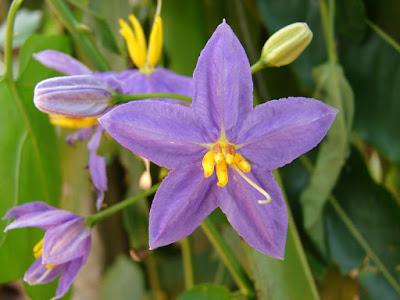 Solanum trilobatum flower