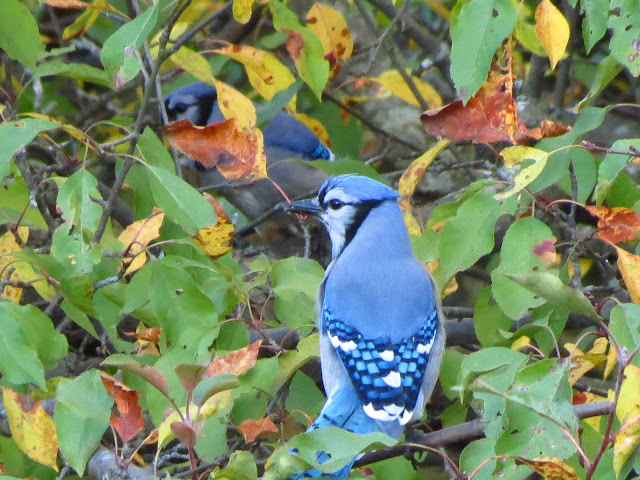 blue jays together in apple tree