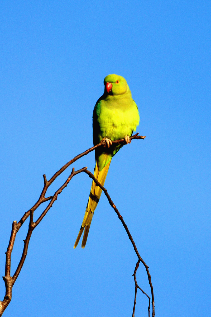 Asian ring necked parrott share your