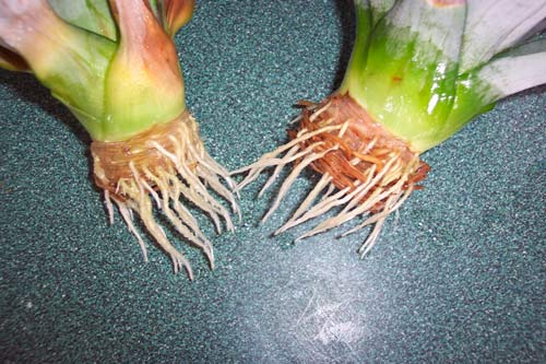 Как растут ананасы в домашних условиях