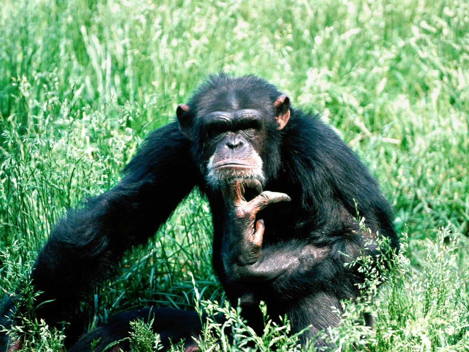 http://2.bp.blogspot.com/-M7_FzMgn2Cc/TaVUlLpHzxI/AAAAAAAAAZM/rAKZta4jEio/s1600/Chimpanzee+Wallpaper.jpg