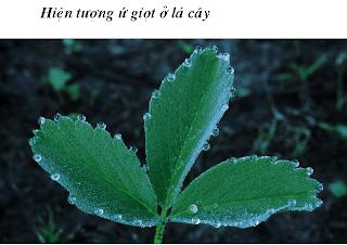 Hiện tượng ứ giọt ở cây