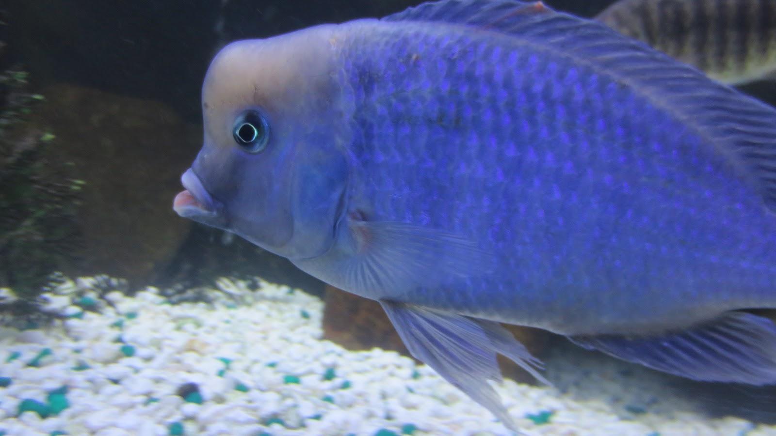 mal/tang fish: Cyrtocara moorii Blue Dolphin, 12-24-12