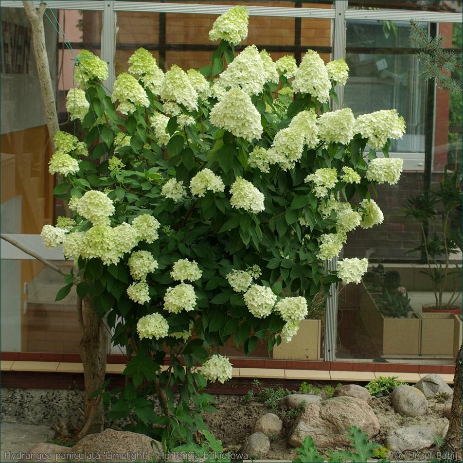 Hydrangea paniculata 'Limelight' - Hortensja bukietowa pokrój