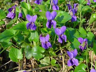NAŠE ZAHRADY: ZDRAVÍ  Příroda a my Léčivé bylinky - Violka vonná - fialka (
