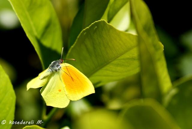 Kelopatra kelebeği kanatları açıkken bir görüntü