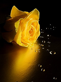 MOBI STYLES FLOWER MOBILE WALLPAPERS 240X320