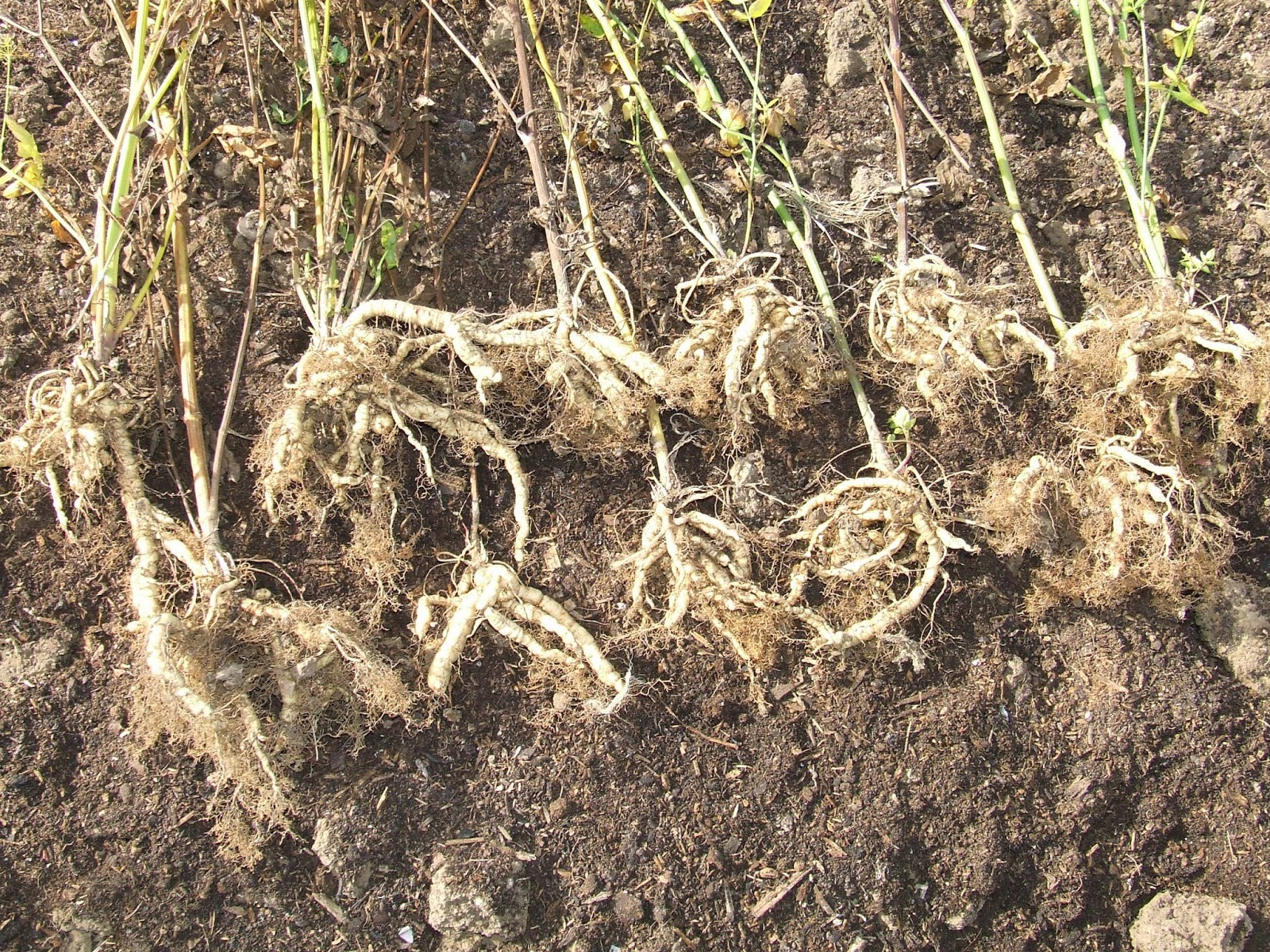 Last year's skirret roots