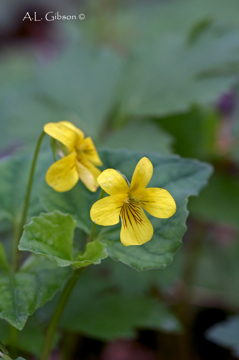 The Buckeye Botanist Roses Are Red Violets Are Blue And Yellow
