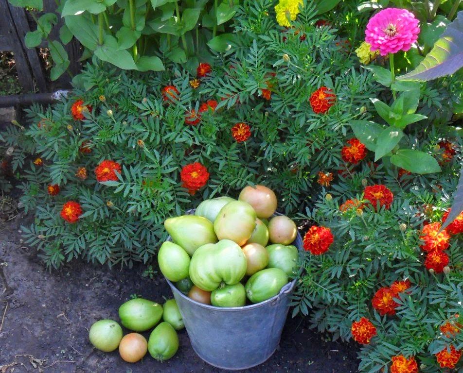 Очередное ведерко помидоров.
