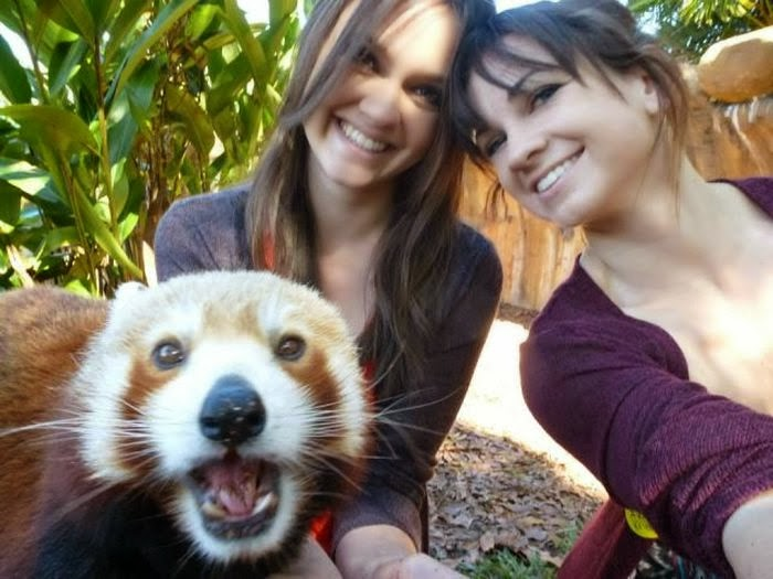 Funny animals of the week - 7 March 2014 (40 pics), red panda photobomb picture
