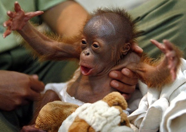 baby animals, cute animals, baby orangutan
