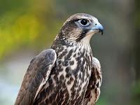 HD desktop wallpaper falcons collection (2)